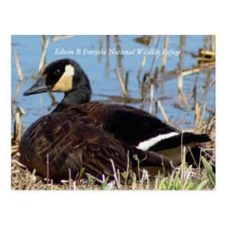 Goose Photo Postcard