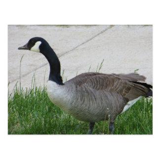 Goose Side View Postcard