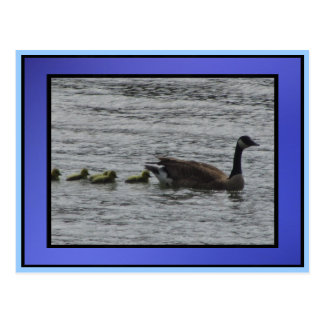 Goose With Babies Postcard