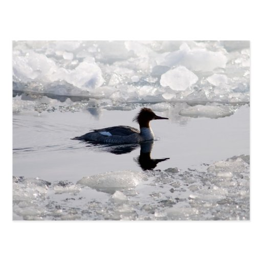 Gooseander in ice postcard