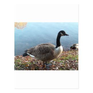 Goosey Goosey Postcard