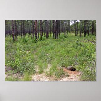 Gopher tortoise burrow and habitat (Gopherus polyp Poster