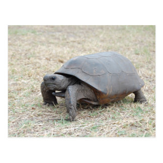 Gopher Tortoise Postcard