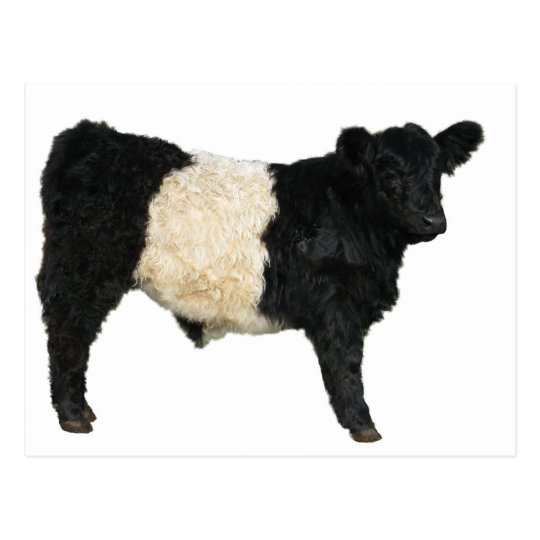 Gorgeous Belted Galloway Steer Cutout Postcard