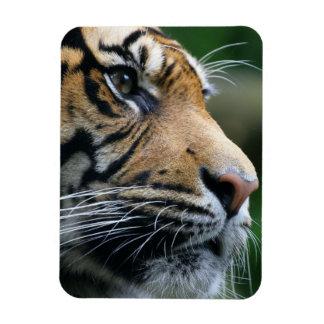 Gorgeous Bengal Tiger Face Rectangular Magnets