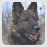 Gorgeous Black-saddled German Shepherd Stickers