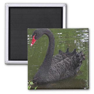 Gorgeous Black Swan on Water Magnet