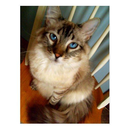 gorgeous blue eyed cat postcard