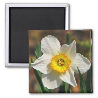 Gorgeous  Daffodil Magnet