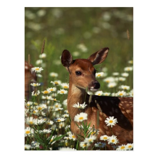 Gorgeous Fawn Postcard
