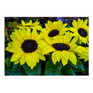 GORGEOUS GARDEN SUNFLOWERS POSTCARD