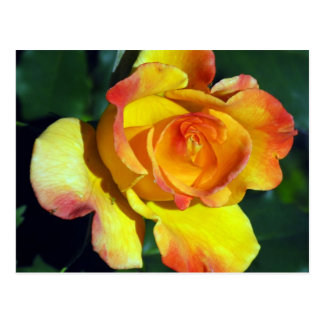 Gorgeous Glowing Golden Rose Post Cards