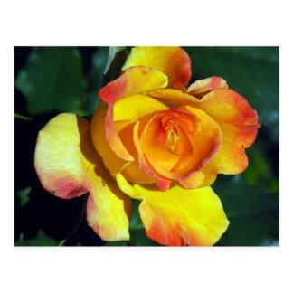 Gorgeous Golden Glowing Rose Postcard