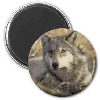 Gorgeous Gray Wolf Magnet