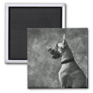 Gorgeous Great Dane 2 Inch Square Magnet
