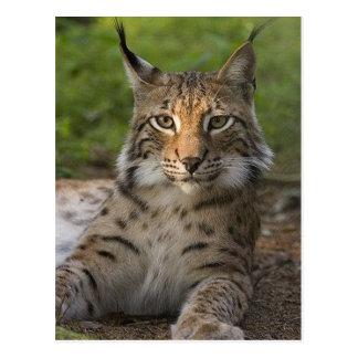 gorgeous lynx resting postcard