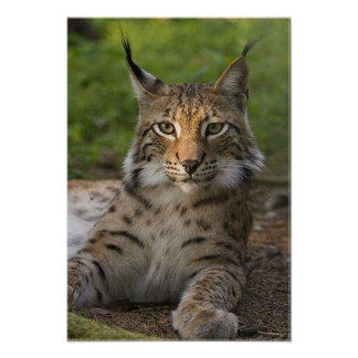 gorgeous lynx resting poster