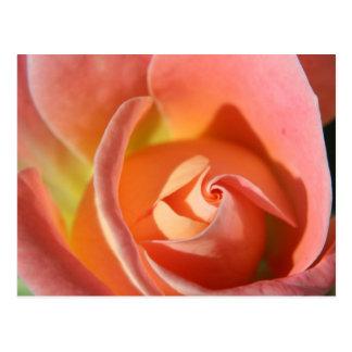 Gorgeous Peach Colored Rose Design. Postcard