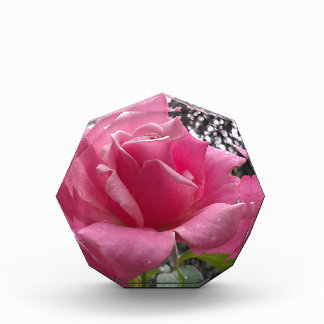 Gorgeous pink rose flower in bloom! award