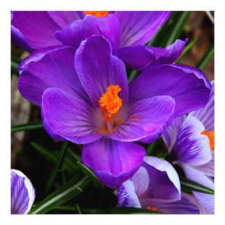 Gorgeous Purple Tulip Flowers Photo Print