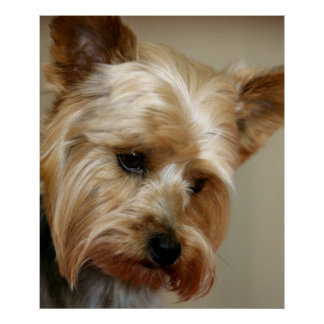 Gorgeous Yorkshire Terrier Poster