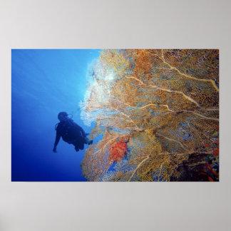 Gorgonian sea fan, Subergorgia mollis, with Poster