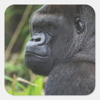Gorila de la tierra baja del Silverback, cautivo Pegatina Cuadrada