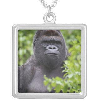 Gorila de la tierra baja del Silverback, gorila Collar Plateado