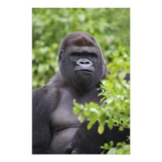 Gorila de la tierra baja del Silverback, gorila de Arte Fotografico