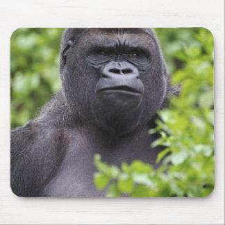 Gorila de la tierra baja del Silverback, gorila de Alfombrilla De Raton