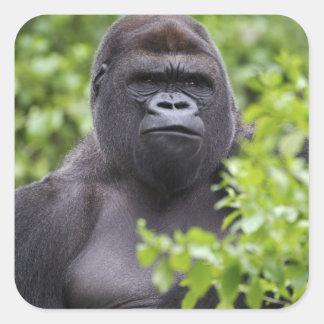 Gorila de la tierra baja del Silverback, gorila Pegatina Cuadrada