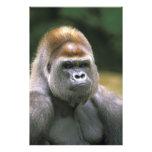 Gorila de la tierra baja. Gorila del gorila Foto