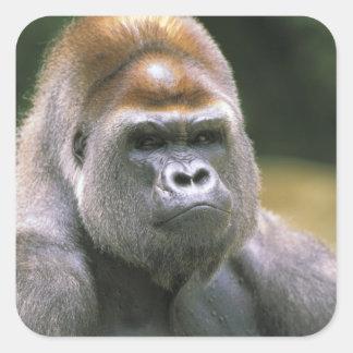 Gorila de la tierra baja. Gorila del gorila Pegatina Cuadradas