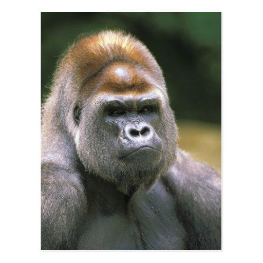 Gorila de la tierra baja. Gorila del gorila Postal