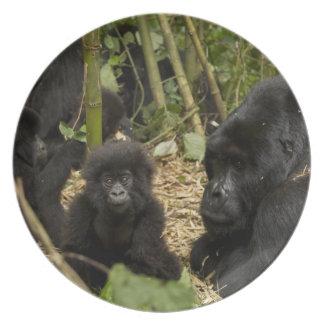 Gorila de montaña, adulto con los jóvenes 2 plato de cena
