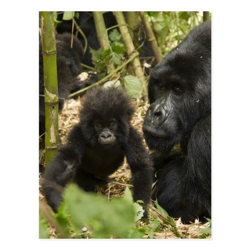 Gorila de montaña, adulto con los jóvenes postal