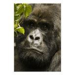 Gorila de montaña, beringei del beringei del goril impresiones
