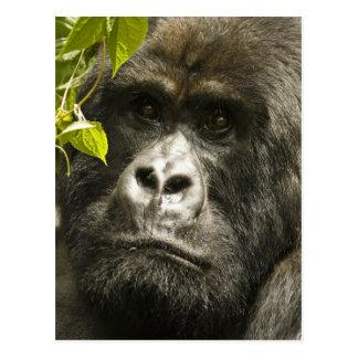 Gorila de montaña, beringei del beringei del goril postal