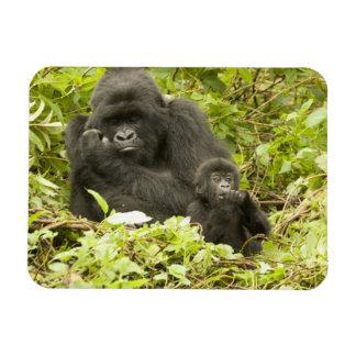 Gorila de montaña, beringei del gorila (antes G. Iman Flexible