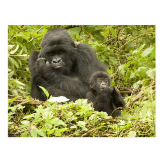 Gorila de montaña, beringei del gorila (antes G. Postales