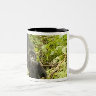 Gorila de montaña, beringei del gorila (antes G. Taza De Café
