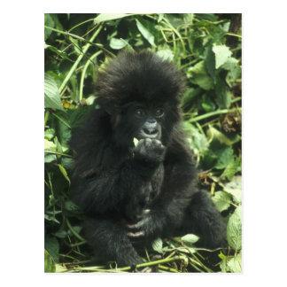 Gorila de montaña, (beringei del gorila del gorila tarjetas postales