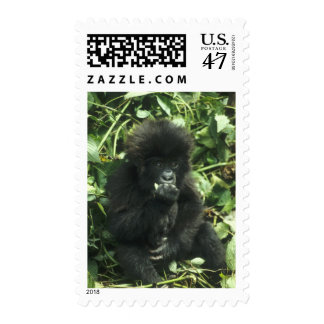 Gorila de montaña, (beringei del gorila del sellos