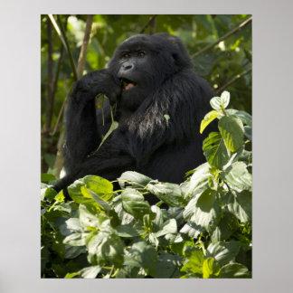 Gorila de montaña, blackback, comiendo póster