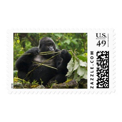 Gorila de montaña de Blackback