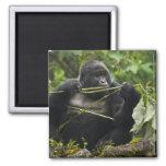 Gorila de montaña de Blackback Imán De Nevera