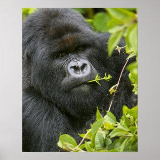 Gorila de montaña del Silverback Poster