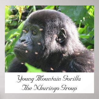 Gorila de montaña joven el grupo de Nkuringo Póster
