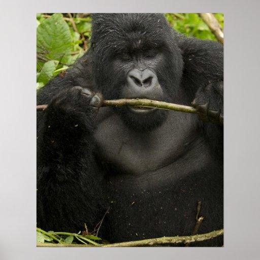 Gorila de montaña, usando las herramientas póster