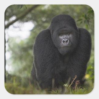 Gorila de montaña y Silverback 3 Pegatinas Cuadradases Personalizadas